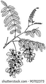 Plant Robinia pseudoacacia (Black Locust)