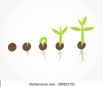 Plant seed germination process stages. Vector illustration