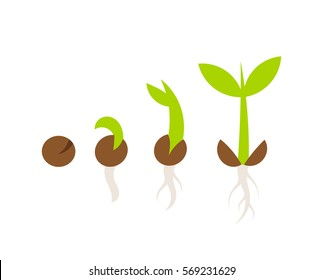 Plant seed germination stages. Vector illustration