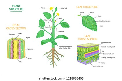 Plant structure and cross section diagrams, botanical microbiology vector illustration schemes collection. Stem and leaves labeled closeup drawings with layers and cells. Educational biology poster.