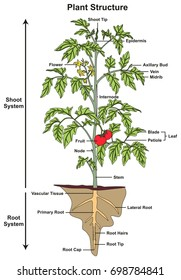 Plant Structure infographic diagram including all parts of shoot and root systems showing buds flower fruit stem leaf node root hairs tip cap for biology science education