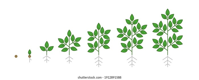 Plant tree growth stages infographic. Growing period steps. Harvest animation progression. Fertilization phase. Cycle of life development. Vector set schema.