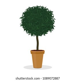 Plant trimmed into ball shape. Decorative tree growing in the flower pot. Small bush trimmed into round shape.