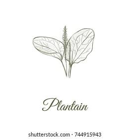 Plantain skech hand drawing. Plantain vector illustration
