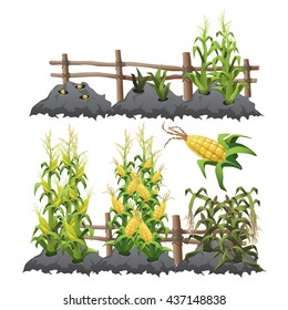 Planting, growing, and ripening of corn. Agriculture. Vector.