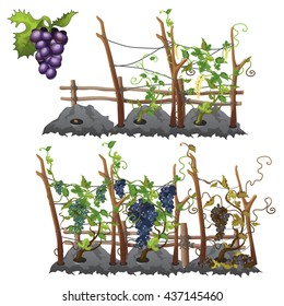 Planting, growing and ripening of the grapes. Agriculture. Vector.