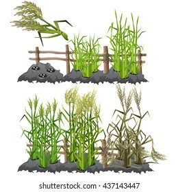 Planting, growing and ripening sugarcane. Agriculture. Vector.