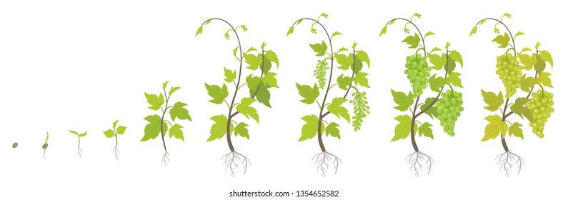 Planting growth stages of grapes plant. Vineyard planting increase phases. Vitis vinifera harvested. Ripening period infographics. The life cycle. Vector illustration.