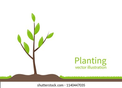Planting tree. Process planting concept. Gardening, agriculture, caring for environment. Vector illustration flat design. Young sapling.