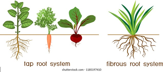 Plants with different types of root systems: tap and fibrous root systems