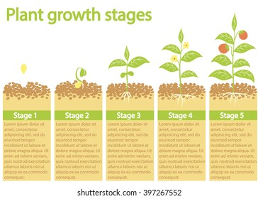 Plants growing infographic. Plants growing process. Plants growth stages. Plants growing from seed to fruits.