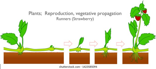 Plants growth and development stages. Strawberry reproductive system.  Vegetative propagation types in plants. Runners. Growth stages. White background. 2d drawing vector. illustration.