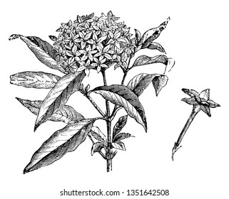 The plants have hairy green leaves and clusters of flowers in shades of red, white, pink, and purple. A bunch of flowers are blossoms at the top, vintage line drawing or engraving illustration.