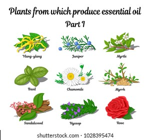 Plants from which produce essential oils such as Rose, Ylang Ylang, Basil, Chamomile, Myrtle, Sandalwood, Hyssop, Juniper and Myrrh