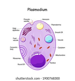 Plasmodium anatomy. Structure of unicellular parasite of vertebrates and insects. causative agent of malaria. vector diagram