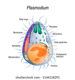 Plasmodium is the malaria parasite, is a large genus of parasitic protozoa. Infection with these protozoans is known as malaria, a deadly disease. Diagram of Plasmodium merozoites  structure.