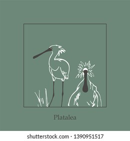 Platalea.Wading bird. Birds of South Korea. White, sea bird. Family Threskiornithinae. Feathered.