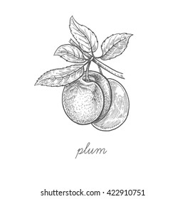 Plum fruit. Vector plant isolated on white background. Design for package of health and beauty natural products. Style Vintage engraving. Black ink drawing.