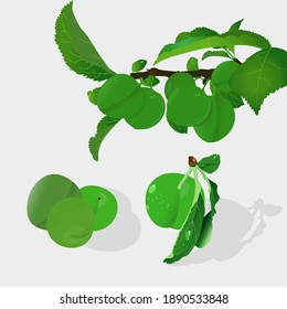 Plum hand drawn vector illustration. Green plums and leaf with realistic hand drawn.