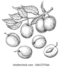 Plum vector drawing set. Hand drawn fruit, branch and sliced pieces. Summer food engraved style illustration. Detailed vegetarian sketch. Great for label, poster, print, menu