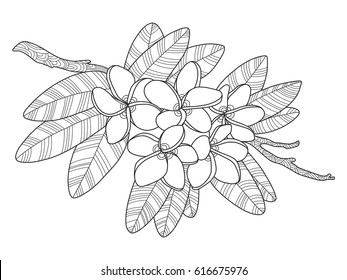 Plumeria flowers coloring book vector illustration. Tattoo stencil. Black and white lines. Lace pattern