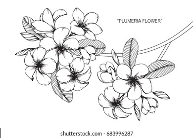 Plumeria flowers drawing and sketch with line-art on white backgrounds.