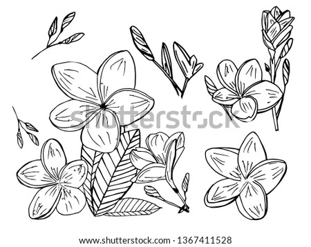 3e0de4414 Plumeria flowers drawing and sketch with line-art on white background.  Frangipani in doodle