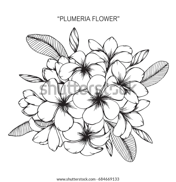 137e37fa7 Plumeria flowers drawing and sketch with line-art on white backgrounds.