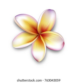 Plumeria, frangipani flower, 3d vector flower illustration. frangipani isolated on white.