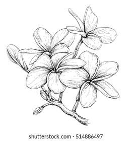 c95fb096b78e5 Plumeria. Hawaii, Bali, Indonesia, Shri-Lanka Tropical Necklace Flowers.  Vector