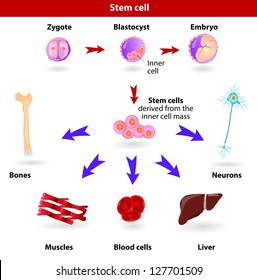 Pluripotent, embryonic stem cells originate as inner cell mass cells within a blastocyst. These stem cells can become any tissue in the body, excluding a placenta.
