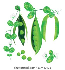 Pods of green peas, flowers and leaves On a white background vector design.