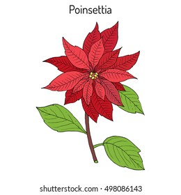 Poinsettia (Euphorbia pulcherrima), Christmas plant. Hand drawn botanical vector illustration
