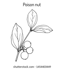 Poison nut (Strychnos nux-vomica), or venom orange, nux vomica, semen strychnos, quaker buttons, medicinal plant. Hand drawn botanical vector illustration