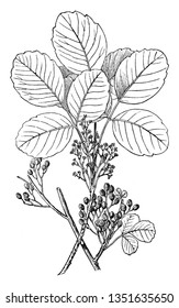 Poison oak grows wild as a woody shrub, Poison oak is native to the western United States and can be seen anywhere across North America. It causes an itchy, blistering rash after it touches your skin
