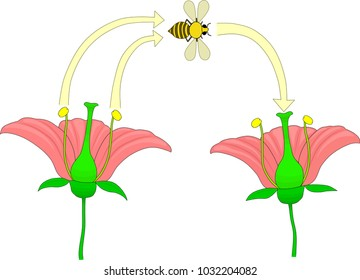 Pollination of the flower by insects