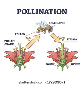 Pollination as plant reproduction and vegetation process in wildlife outline diagram. Educational labeled scheme with fertilization moment, bee and flower vector illustration. Stigma, ovary and ovule.