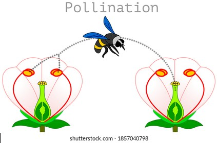 Pollination. pollen produced in the stamen of the plant is transported by bees or insects and adheres to the hillock of the carpel, stigma. Process diagram. Flower Illustration isolated Vector