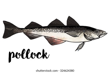 Pollock. Vector illustration of fish on  on a white background