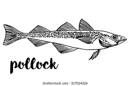 Pollock. Vector illustration of fish on on a white background. Seafood restaurant menu concept. Outline coloring book pages design. Wild nature, fishing, organic food.