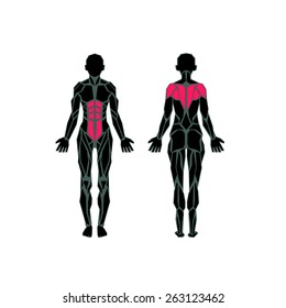 Polygonal anatomy of female muscular system, exercise and muscle guide. Women muscle vector art, back view. Vector illustration