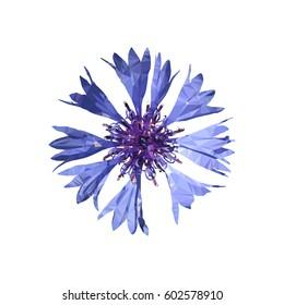 Polygonal blue cornflower (Centaurea cyanus), polygon flower, isolated vector illustation