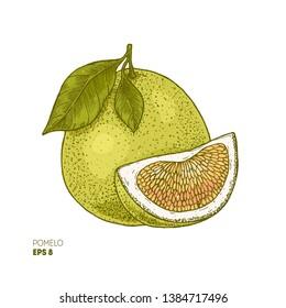 Pomelo colored botanical illustration. Engraved style. Vector illustration