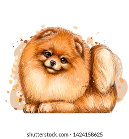 Pomeranian / small German spitz dog.Wall sticker. Color, artistic portrait of a cute Pomeranian / small German spitz dog with fluffy, red fur in a picturesque style on a white background