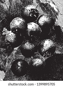 The pomes are like tiny apples with two flower spots on the bottom. They are roughly as toxic due to cyanide and arsenic, vintage line drawing or engraving illustration.