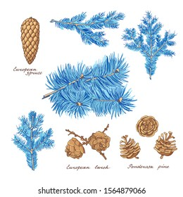 Ponderosa pine, European larch and European spruce. Branches and cones of conifer trees on white background. Blue hand-drawn set of holiday decor and greeting cards. Vector illustration.