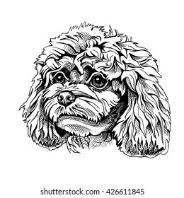 Poodle puppy portrait. Vector illustration.