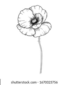 poppy flower in black and white vector graphic