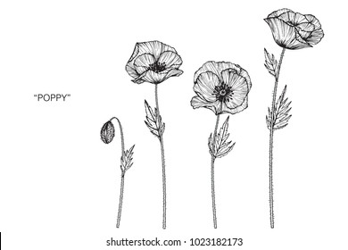 Poppy flower drawing illustration. Black and white with line art.