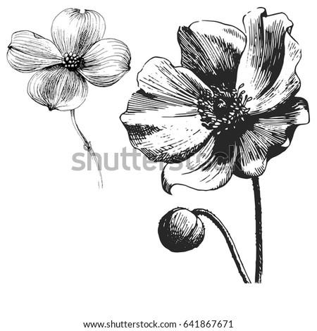 Poppy Flower Drawing Vector Illustration Line Stock Vector Royalty
